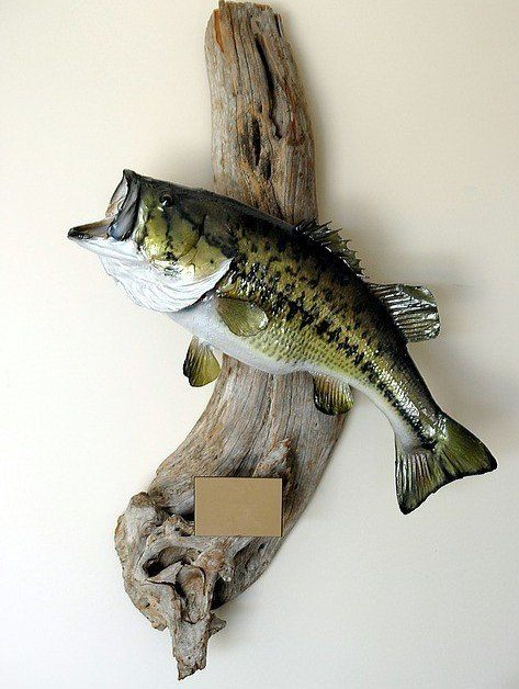 Mounted and stuffed largemouth bass on a piece of driftwood.