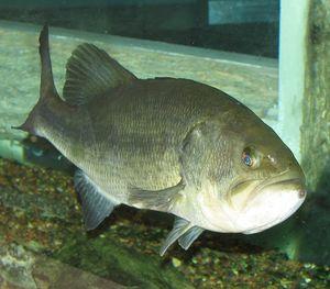 Largemouth Bass Tips