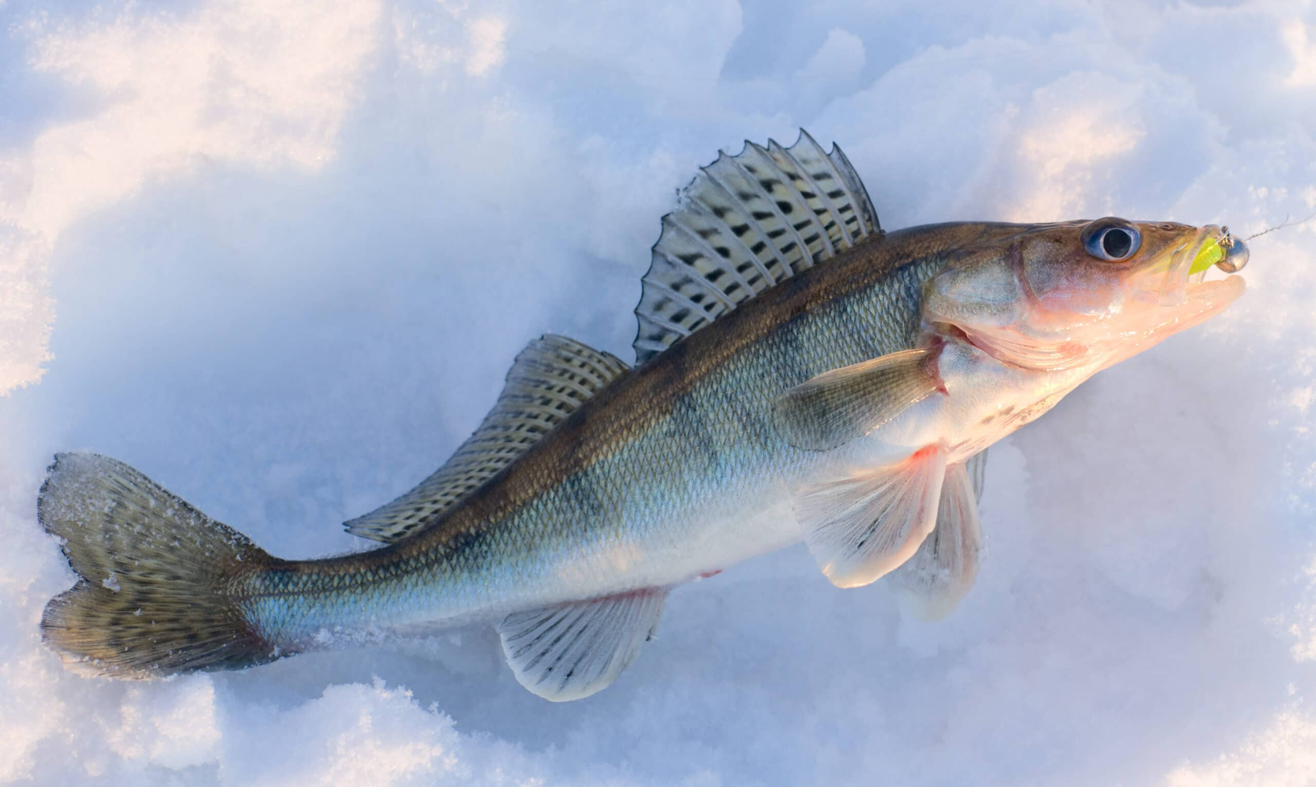 Walleye caught on jig lure is lying on snow in last rays of sunlight, released after shooting