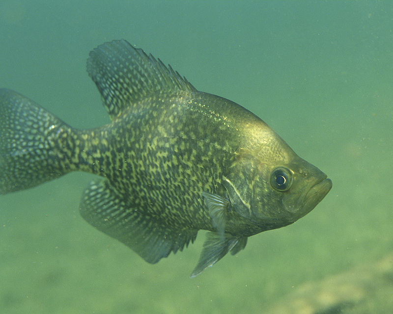 Black crappie swimming.