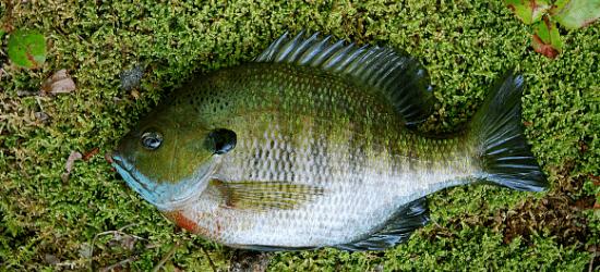 Bluegill fish lying on the grass.
