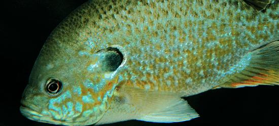 Bluegill fish swimming.