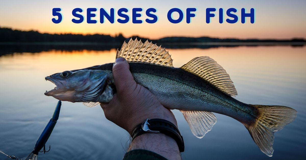 Hand holding a fish at sunset and the words 5 senses of fish.