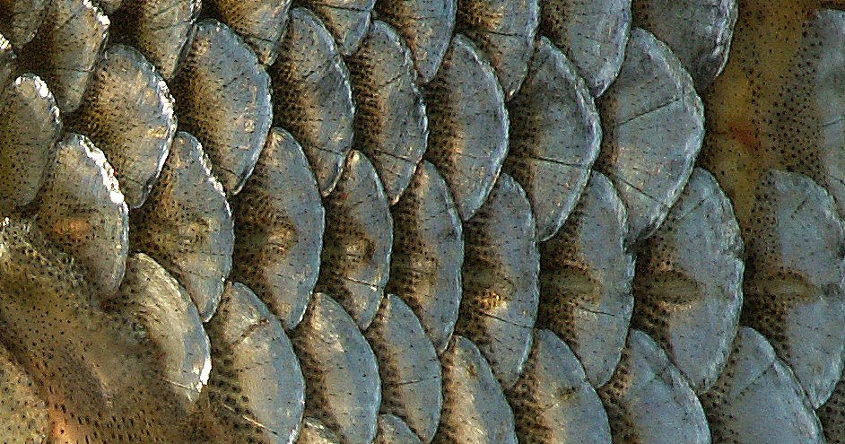 Scales of the lateral line of fish.