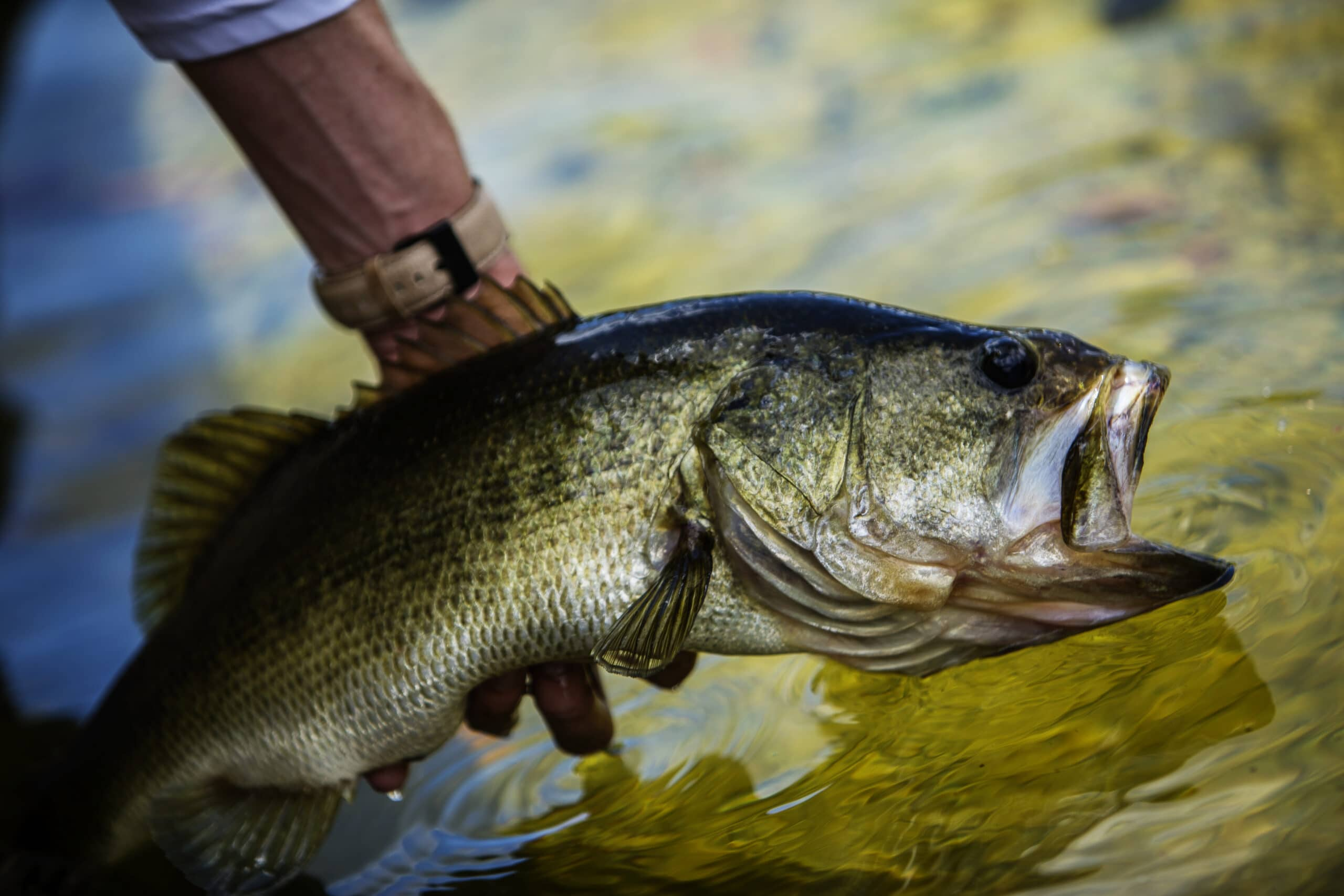 Man holding a largemouth bass over a river.