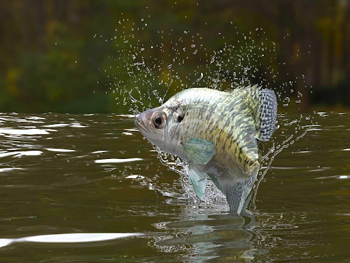 Crappie jumping out of the water