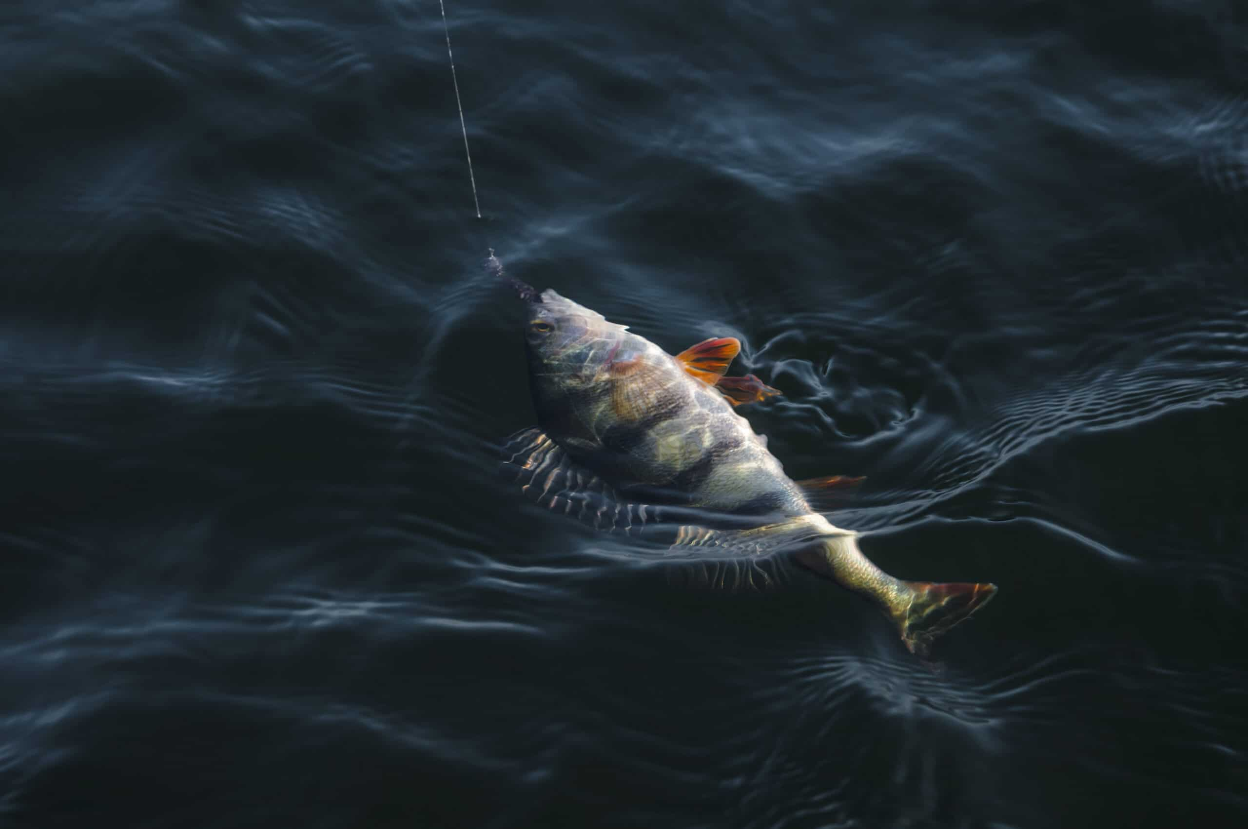 Perch in water